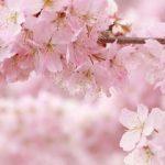 桜~お祭り☆